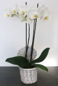 Orchid Plant in Wicker Basket